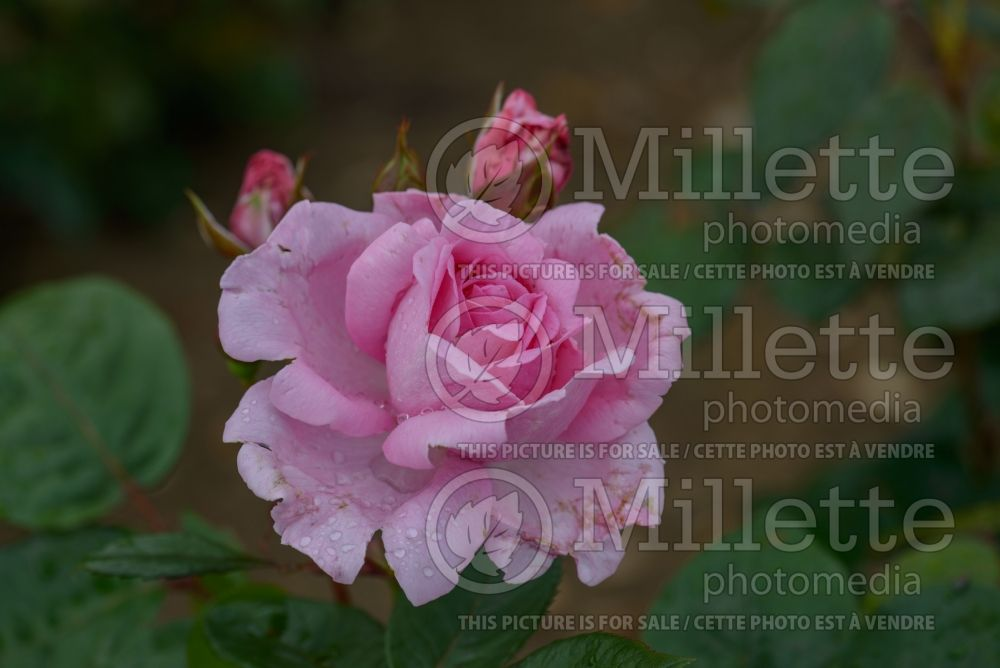 Rosa Mum in a Million aka Mille (Hybrid Tea Rose) 1