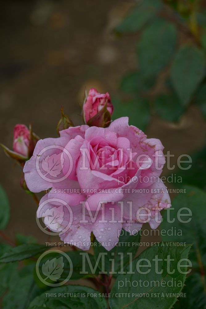 Rosa Mum in a Million aka Mille (Hybrid Tea Rose) 2