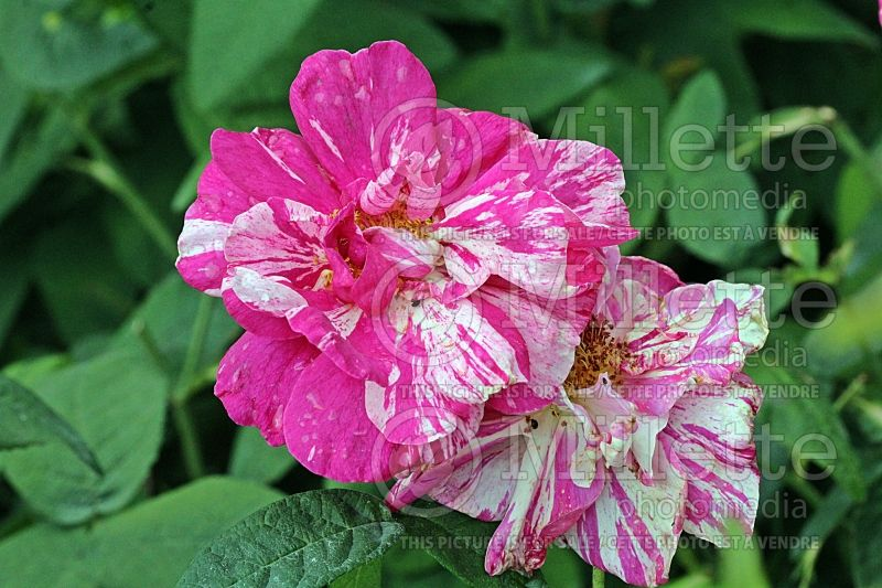 Rosa Mundi (Shrub Rose)   1