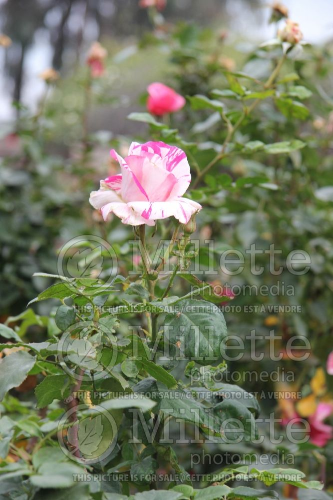 Rosa Neil Diamond (Hybrid Tea Rose) 1