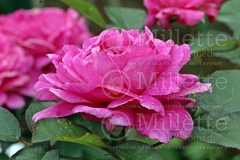 Rosa Noble Antony ou Ausway (Shrub Rose)   1