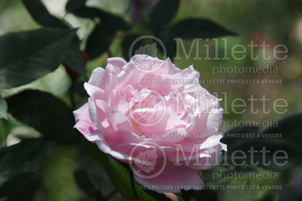 Rosa Old Blush aka Old China (Rose) 4