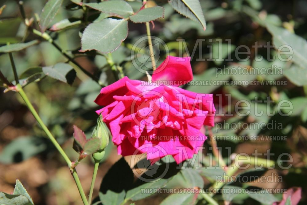 Rosa Old Gay Hill Red China (Shrub Rose) 1