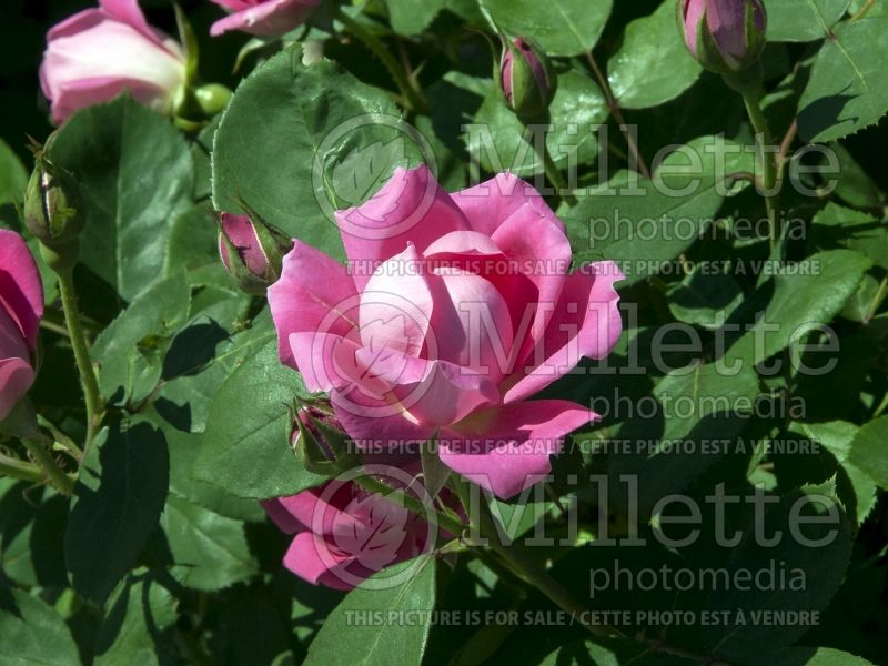 Rosa Pink Double Knockout (Shrub Rose) 7