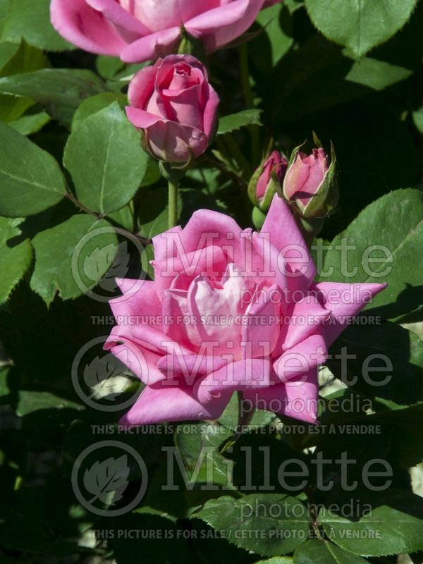 Rosa Pink Double Knockout (Shrub Rose) 8