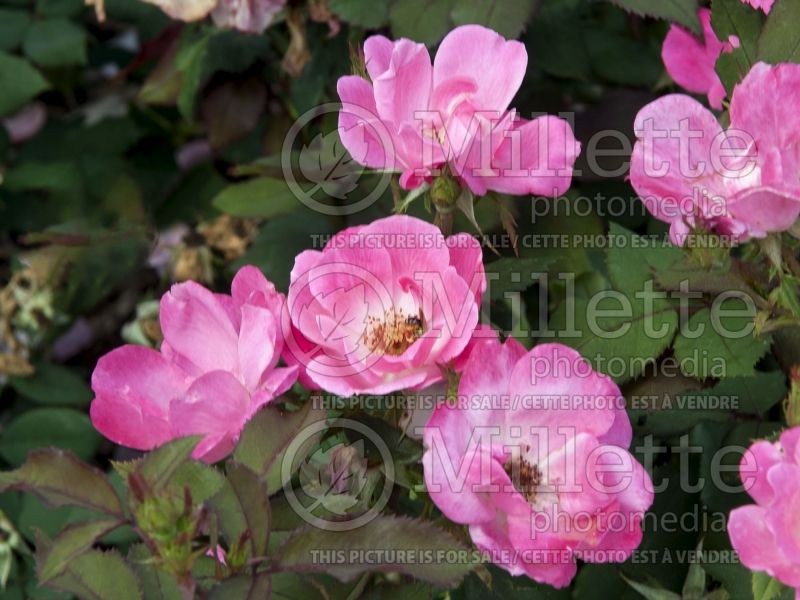 Rosa Pink Knockout (Shrub rose) 2