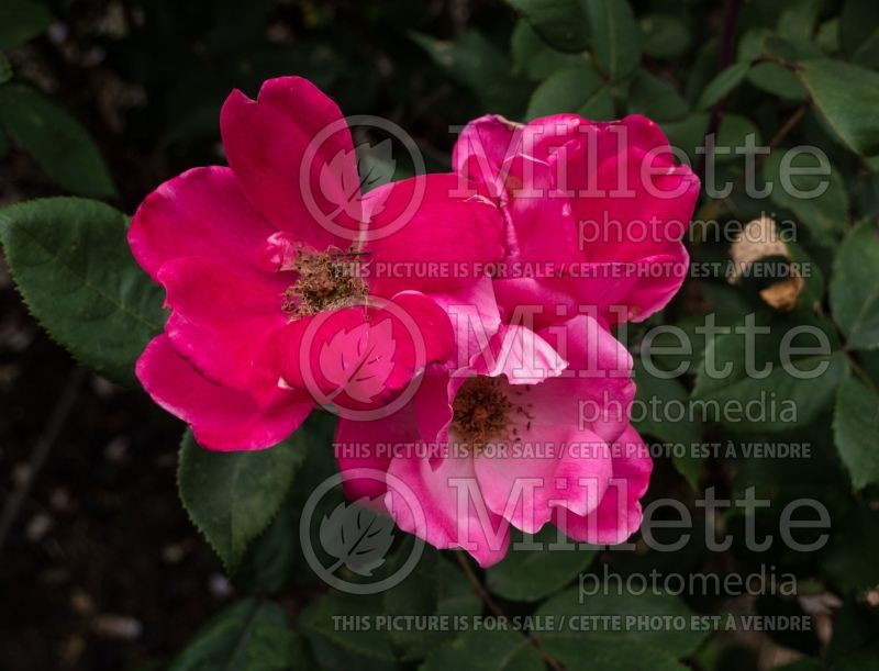 Rosa Pink Knockout (Shrub rose) 6