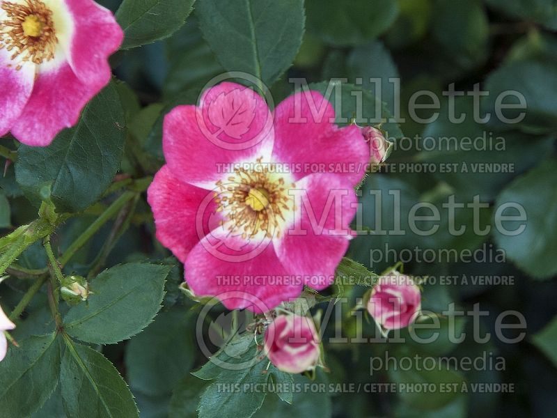 Rosa Pink Meidiland (Red-leaved Rose) 1