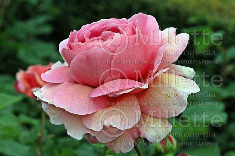 Rosa Princess Alexandra of Kent or Ausmerchant (Shrub Rose) 2