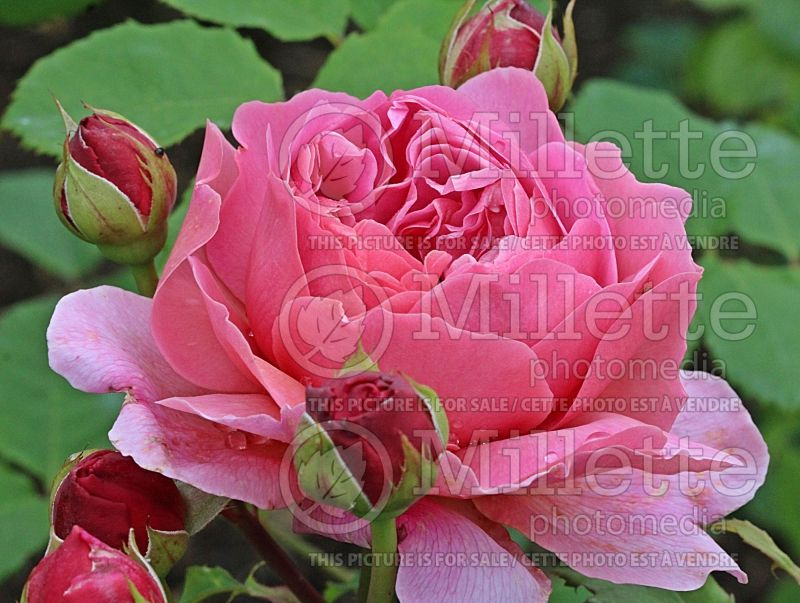 Rosa Princess Alexandra of Kent or Ausmerchant (Shrub Rose) 1