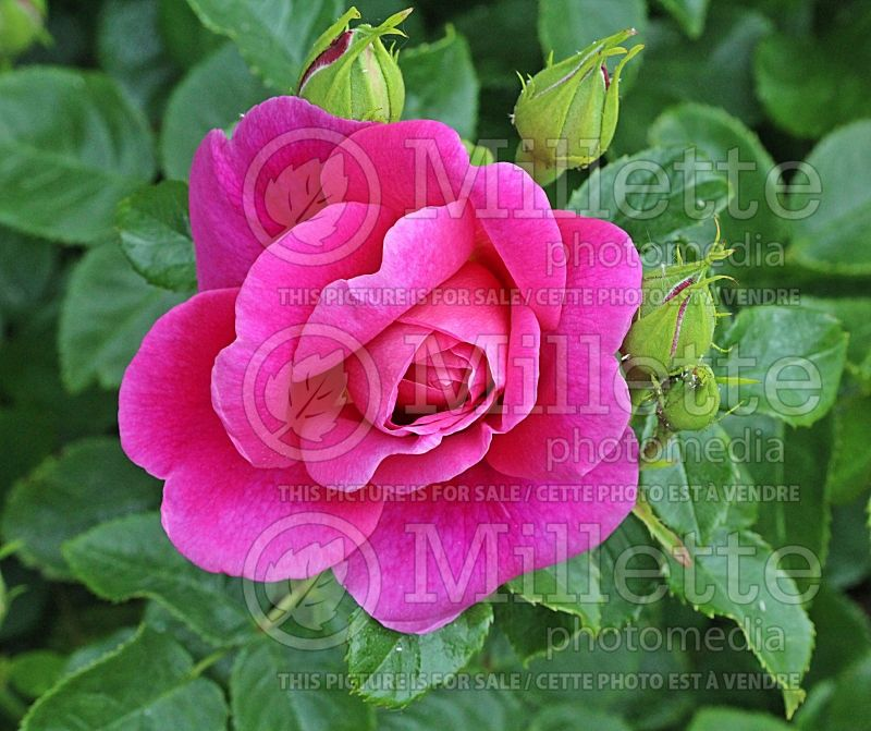 Rosa Princess Anne or Auskitchen (Shrub Rose)   1