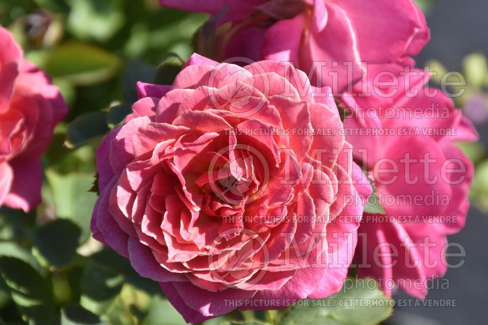Rosa Queen of Elegance (floribunda Rose) 1
