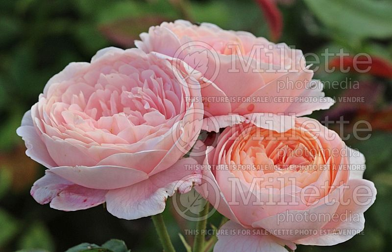 Rosa Queen of Sweden or AUStiger (Shrub Rose) 3