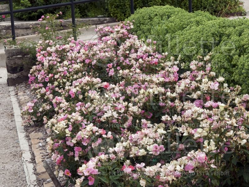 Rosa Rainbow Knockout (Shrub Rose) 8