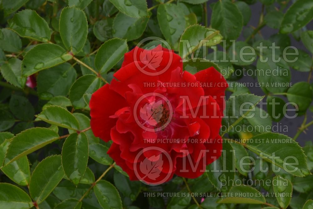 Rosa Red Ribbons (Groundcover Rose) 5