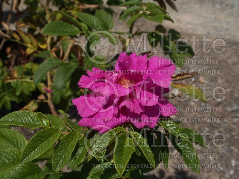 Rosa Hansa (Shrub Rose) 7