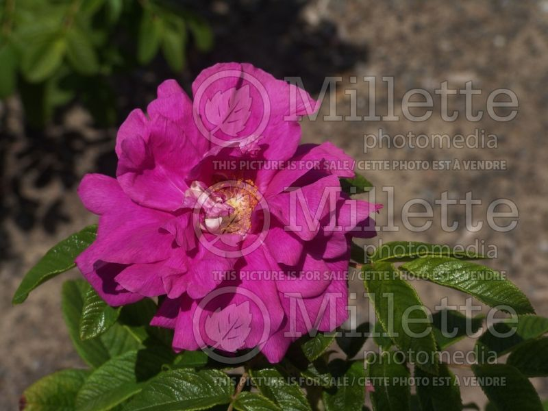 Rosa Hansa (Shrub Rose) 8