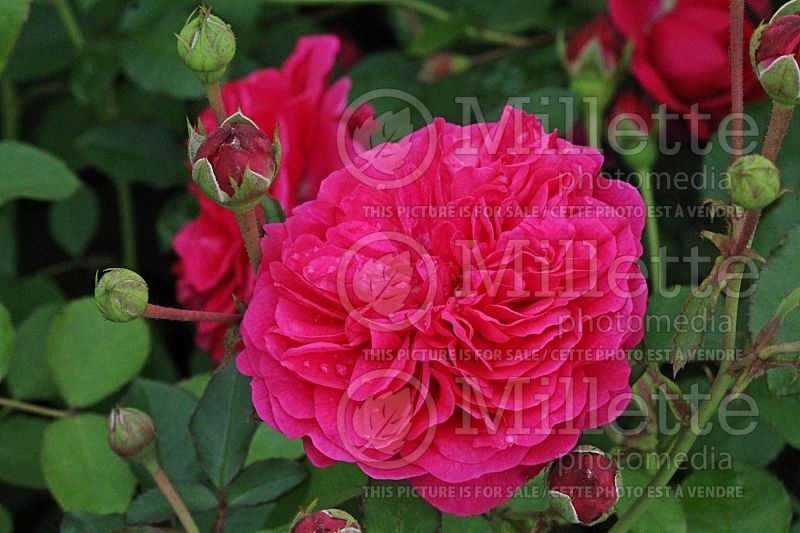 Rosa Sir John Betjeman or Ausvivid (Shrub Rose)   1