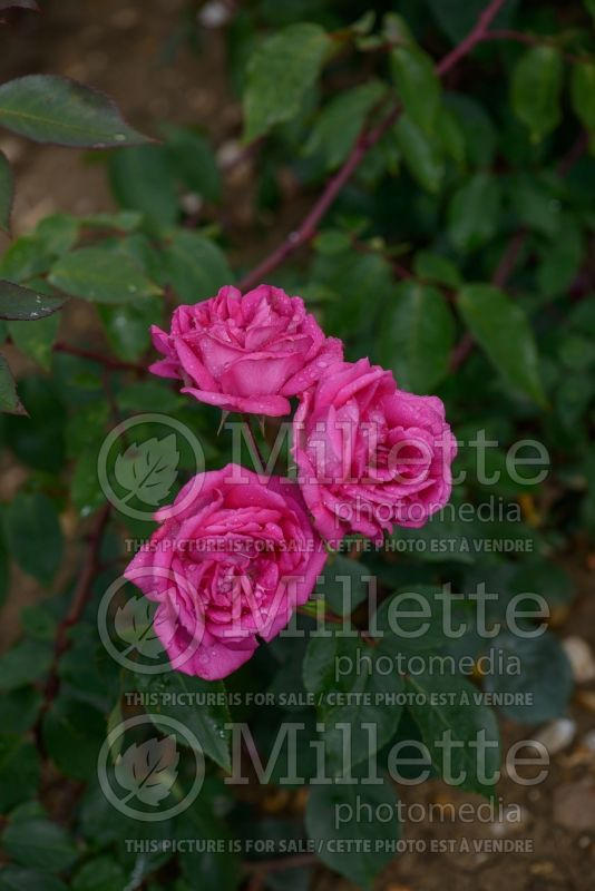 Rosa Sir Paul Smith (Climbing rose)  2