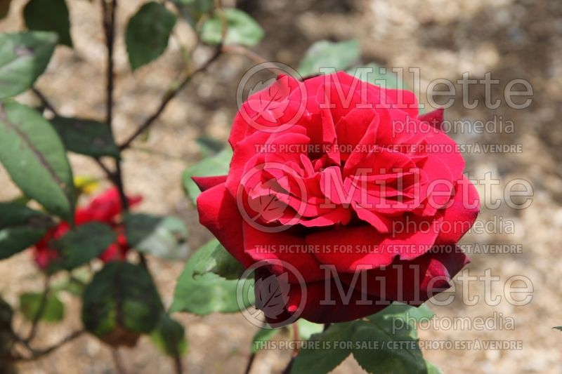 Rosa Taboo or Weltabu (hybrid tea rose) 1