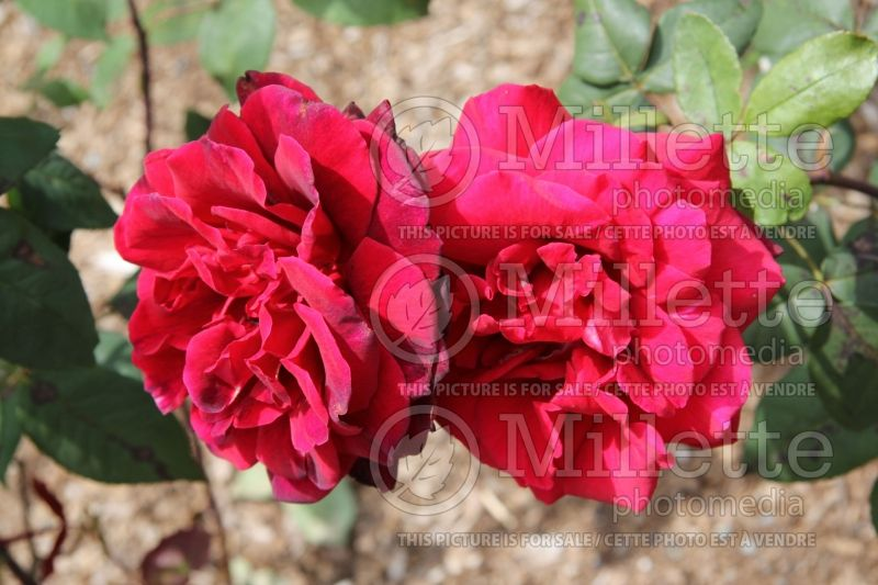 Rosa Taboo or Weltabu (hybrid tea rose) 2