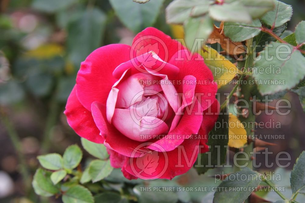 Rosa Take it Easy (floribunda Rose) 1