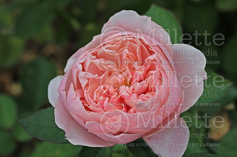 Rosa The Alnwick Rose or Ausgrab (Shrub Rose) 1