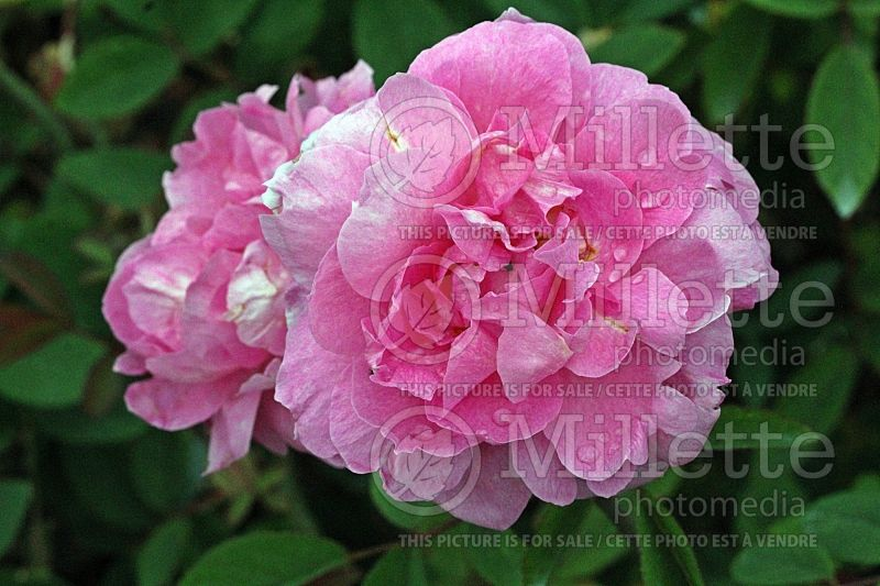 Rosa The Mayflower or Austilly (Shrub rose)  1