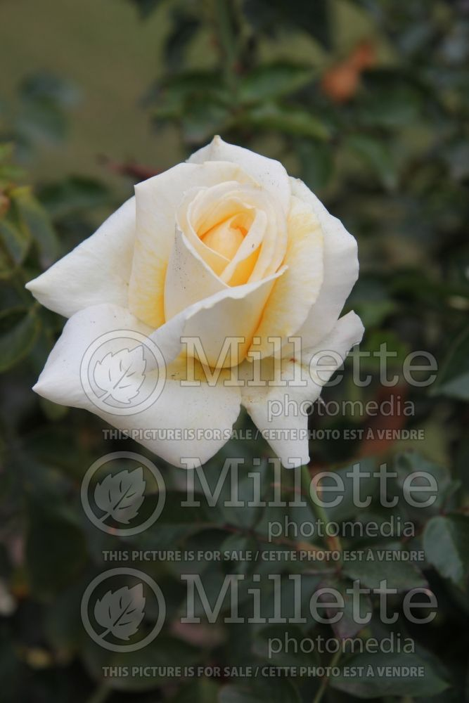Rosa Whisper (Hybrid Tea Rose) 1
