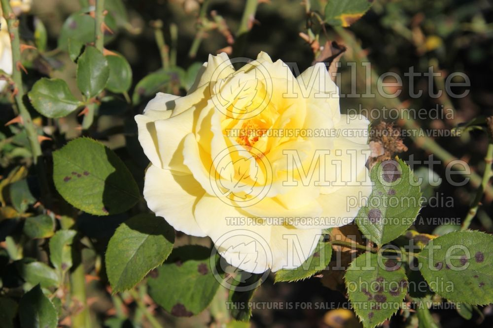 Rosa White Licorice (Floribunda Rose) 3