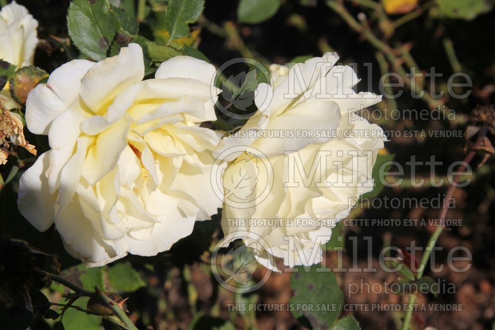 Rosa White Licorice (Floribunda Rose) 4