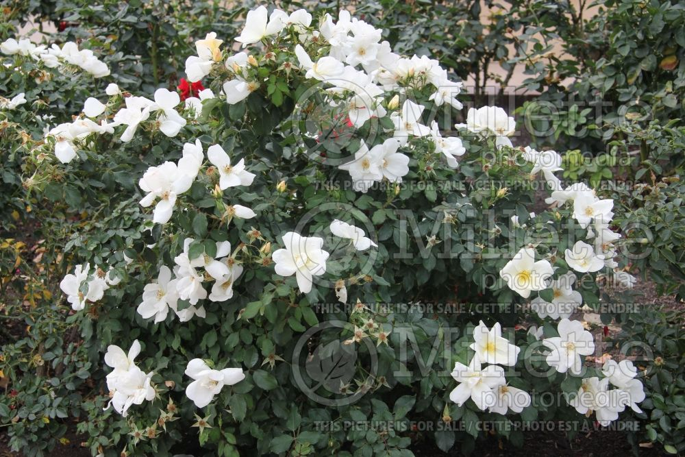 Rosa White Out aka Radwhite  (Shrub Rose) 6