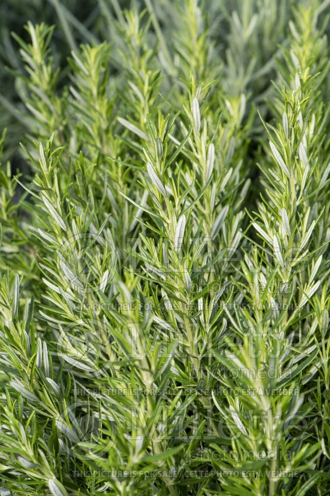 Rosmarinus Barbeque (Rosemary herb - romarin) 1
