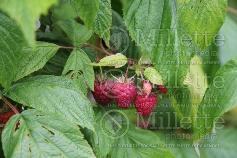 Rubus Heritage (red raspberry) 2