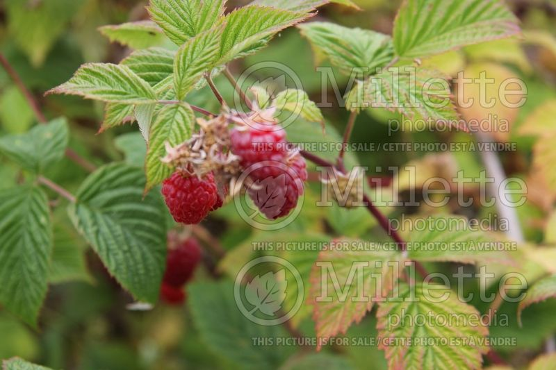 Rubus Willamette (red raspberry) 1