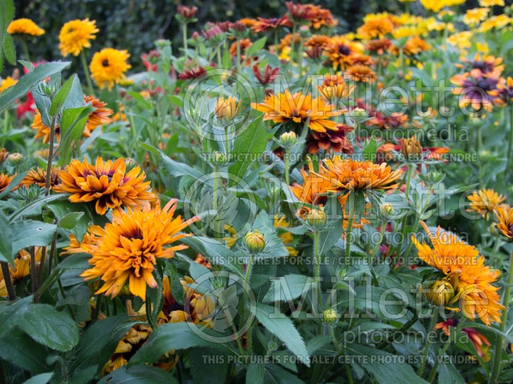 Rudbeckia Autumn Colors (Black-eyed Susan) 2