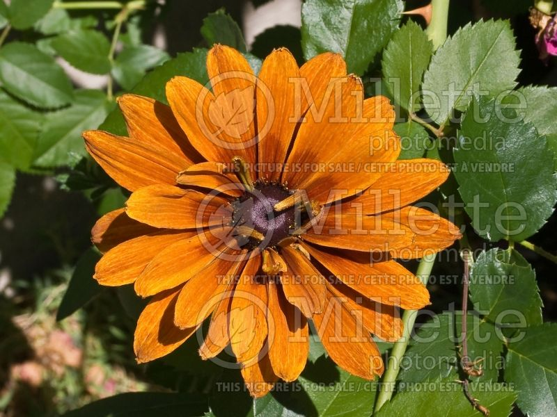 Rudbeckia Cherokee Sunset (Black-eyed Susan) 2