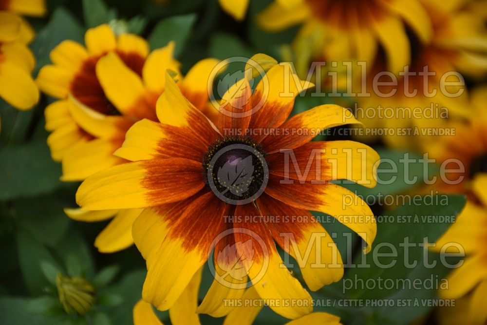 Rudbeckia Rising Sun Chestnut Gold (Black-eyed Susan) 1