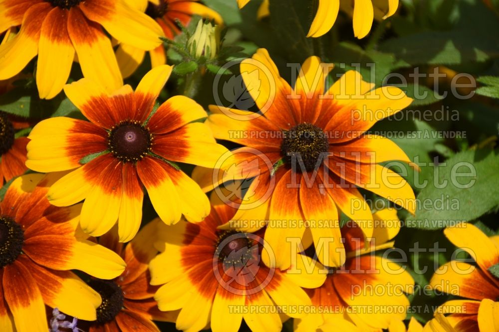 Rudbeckia Rising Sun Chestnut Gold (Black-eyed Susan) 2