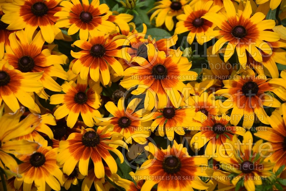 Rudbeckia Rising Sun Chestnut Gold (Black-eyed Susan) 3