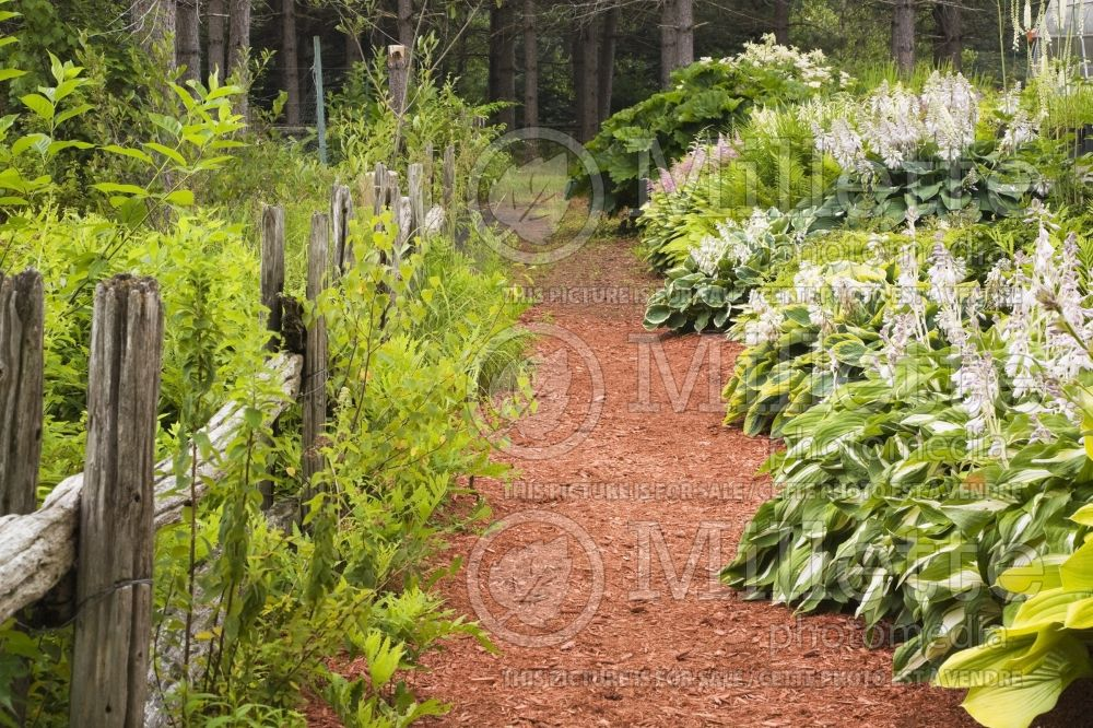 Rustic wooden fence and red cedar mulch path through borders with Hosta and Astilbe plants  1