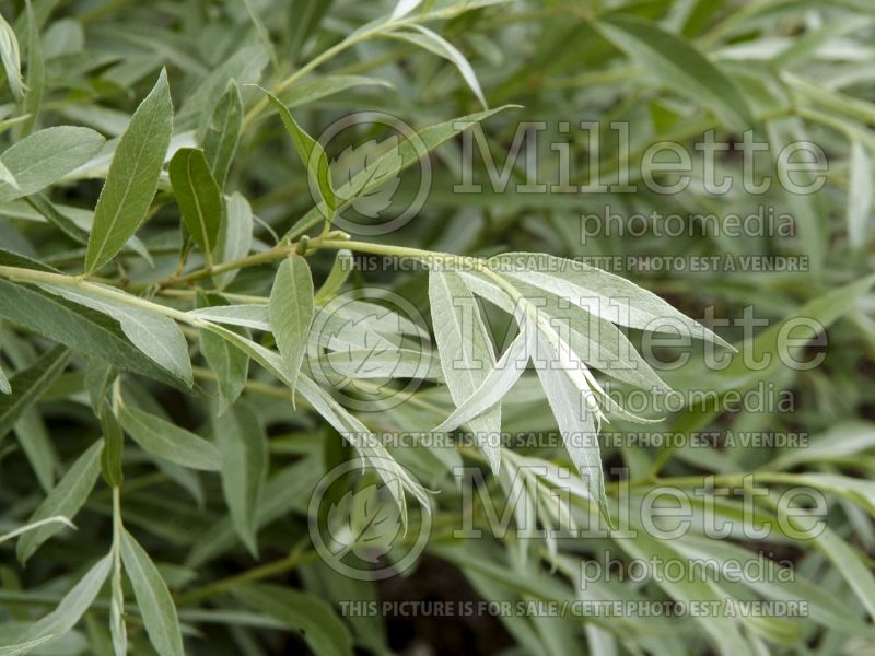 Salix Sibirica  (Siberian White or Silver Leaved Willow) 5