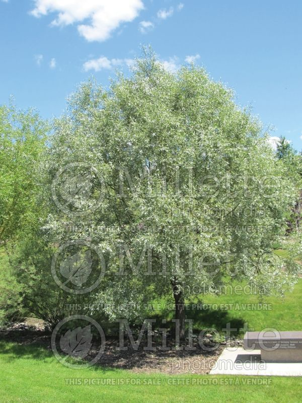 Salix Sibirica  (Siberian White or Silver Leaved Willow) 2