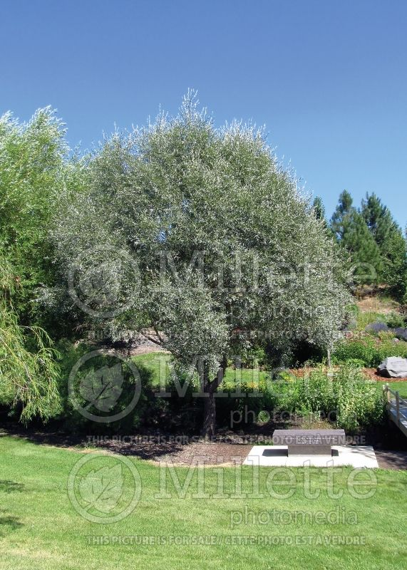 Salix Sibirica  (Siberian White or Silver Leaved Willow) 1