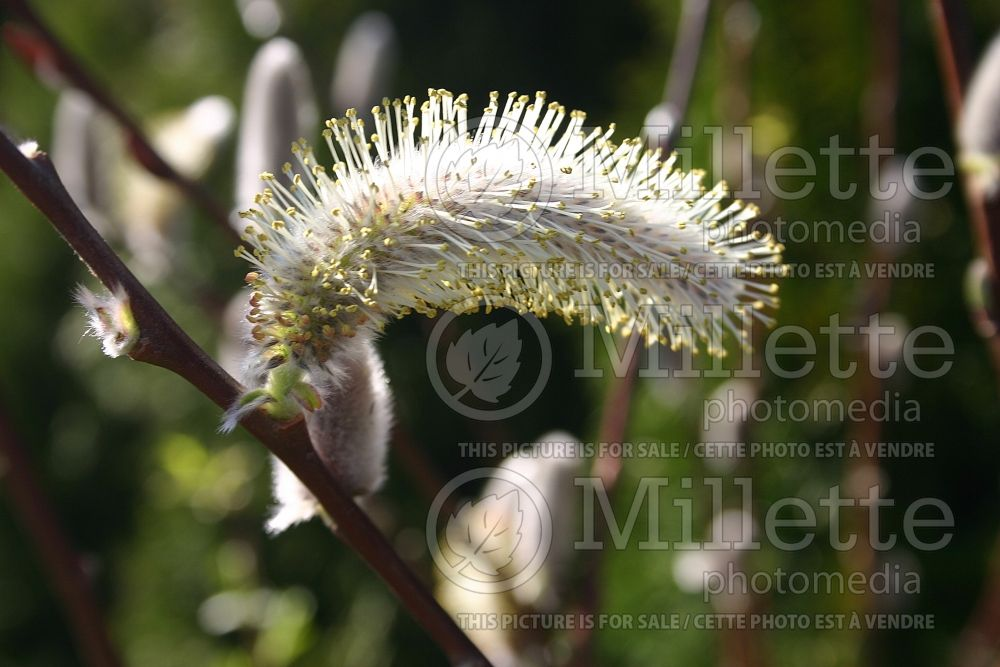 Salix discolor (Pussy Willow - saule) 6