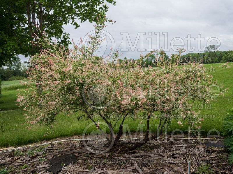 Salix Flamingo (Willow) 8
