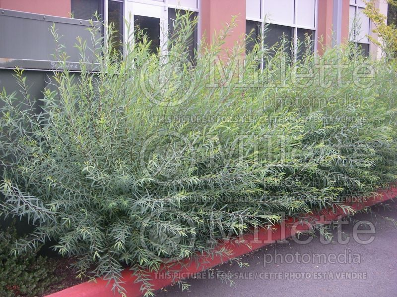 Salix Gracilis (Purple Osier Willow) 3