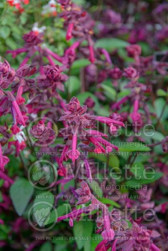 Salvia Love and Wishes (Sauge) 2