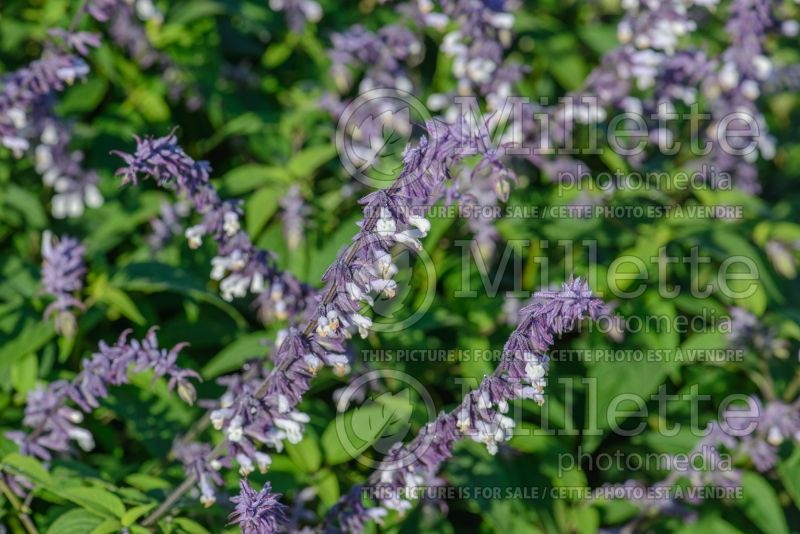 Salvia Phyllis Fancy (Sage) 3