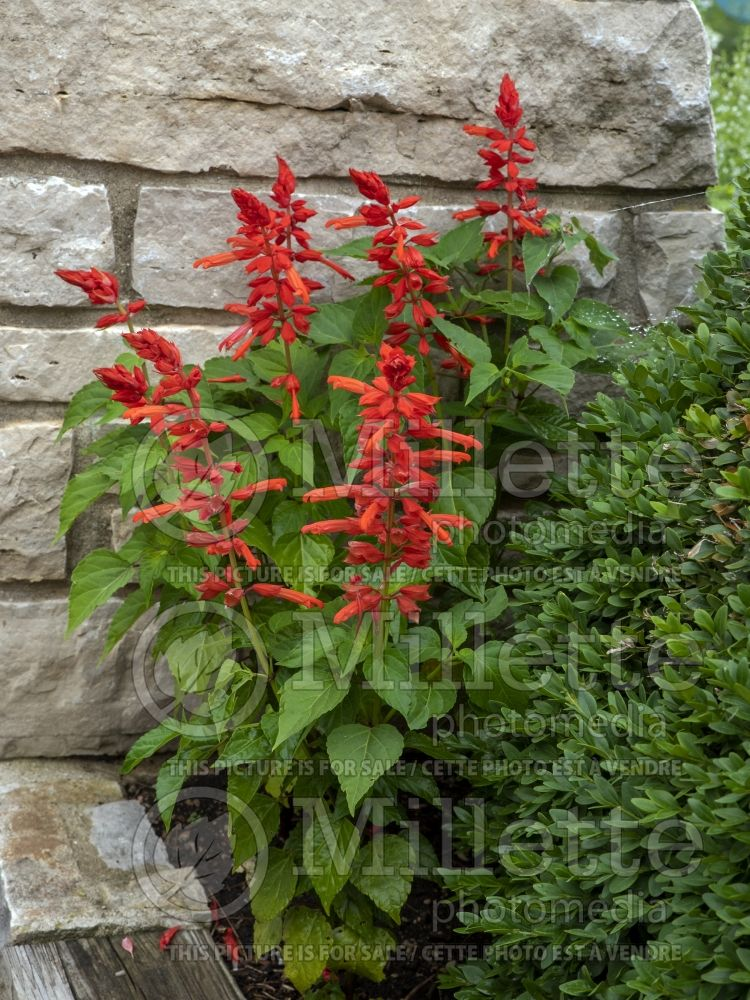 Salvia Hot Jazz (Sage) 2